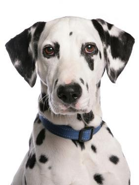 Domestic Dog, Dalmatian, adult, close-up of head by Chris Brignell