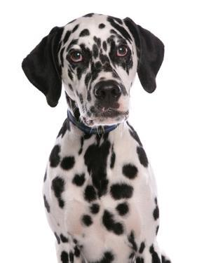 Domestic Dog, Dalmatian, puppy, close-up of head by Chris Brignell