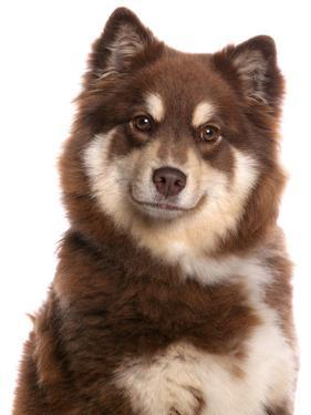 Domestic Dog, Finnish Lapphund, adult, close-up of head by Chris Brignell