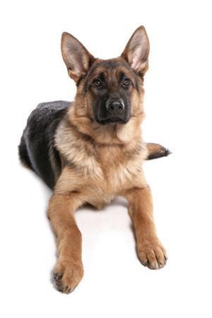 Domestic Dog, German Shepherd Dog, adult, laying by Chris Brignell
