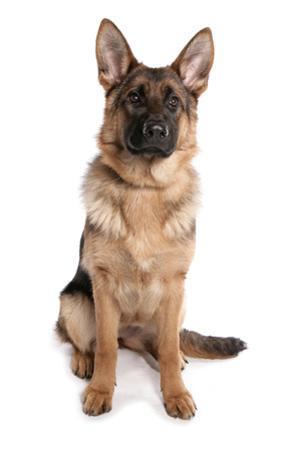Domestic Dog, German Shepherd Dog, adult, sitting