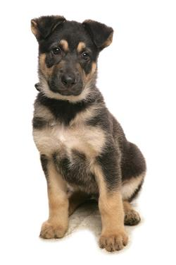 Domestic Dog, German Shepherd Dog, puppy, sitting by Chris Brignell