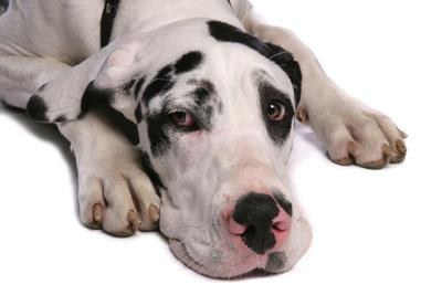 Domestic Dog, Great Dane, harlequin adult female, with collar