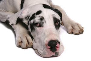 Domestic Dog, Great Dane, harlequin adult female, with collar by Chris Brignell
