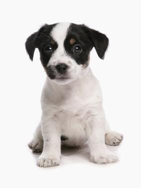 Domestic Dog, Jack Russell Terrier, puppy, sitting by Chris Brignell