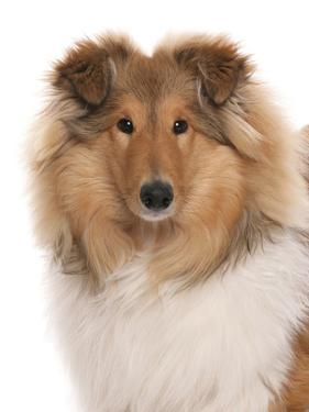 Domestic Dog, Rough Collie, puppy, close-up of head by Chris Brignell
