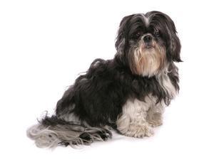 Domestic Dog, Shih Tzu, adult, sitting by Chris Brignell
