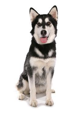Domestic Dog, Siberian Husky x German Shepherd, puppy, sitting by Chris Brignell