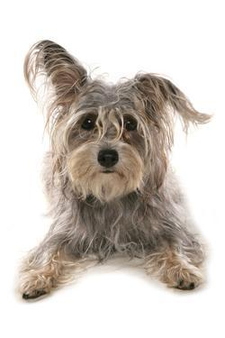 Domestic Dog, Terrier cross mongrel, adult, laying by Chris Brignell