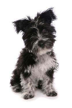 Domestic Dog, Tibetan Terrier, puppy, sitting by Chris Brignell