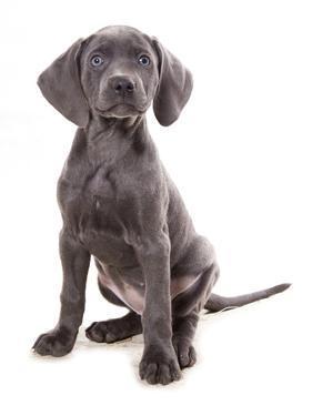 Domestic Dog, Weimaraner, blue short-haired variety, puppy by Chris Brignell