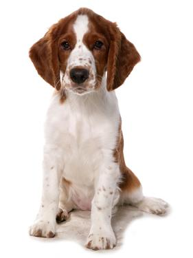 Domestic Dog, Welsh Springer Spaniel, puppy, sitting by Chris Brignell