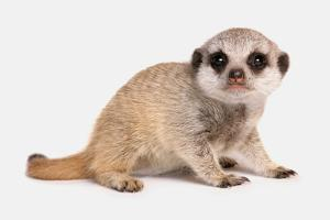 Meerkat (Suricata suricatta) juvenile, sitting by Chris Brignell