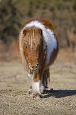 Shetland Pony, adult, walking, New Forest by Chris Brignell