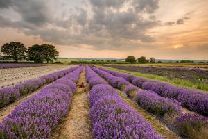 Alton Lavender Farm, Hampshire, Uk by Chris Button