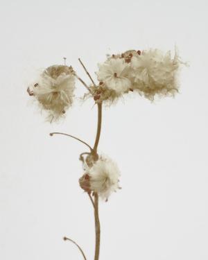Milkweed - Alabaster by Chris Dunker