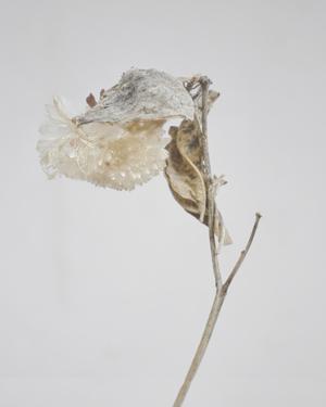 Milkweed - Ecru by Chris Dunker