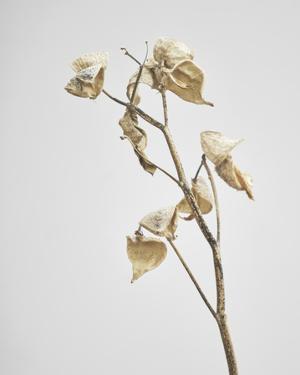 Milkweed - Ivory by Chris Dunker