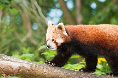 Rare Endangered Red Panda in Naturalistic Setting