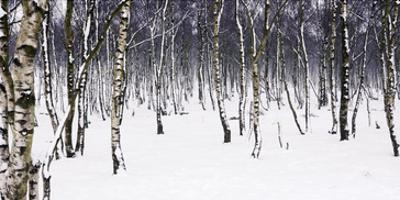 Birches by Chris Farrow