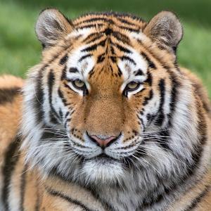 Male Amur Tiger by Chris Godfrey