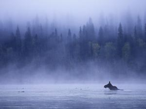 Moose Swimming in Bowron Lake Provincial Park, British Columbia, Canada. by Chris Harris