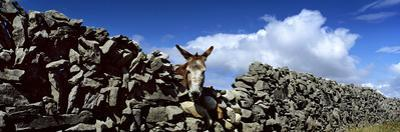 A Donkey Looking over a Stone Wall in Galway Ireland by Chris Hill