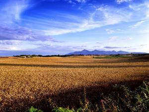A Wheat Field in County Down, Northern Ireland by Chris Hill