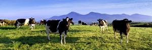 Friesian Cows in the Mountains of Mourne, Co. Down, Northern Ireland by Chris Hill