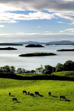 Herd of Cattle Grazing in Green Fields at Lough Corrib in Ireland's County Galway by Chris Hill