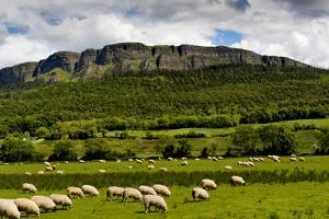 Sheep Graze Below Binevenagh Mountain in Roe Valley, County Londonderry, Northern Ireland by Chris Hill