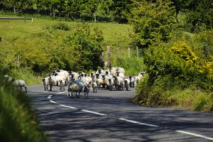 Sheep on a Country Road in Northern Ireland by Chris Hill