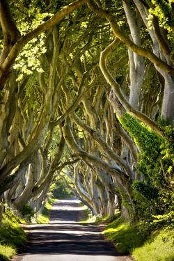 The Reputedly 300 Year Old Beech Trees, the Dark Hedges in Stranocum by Chris Hill