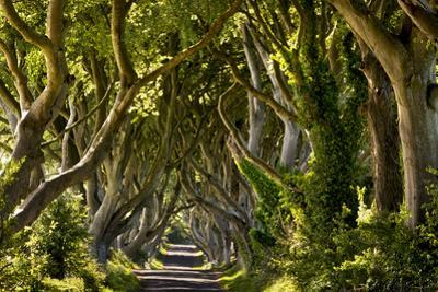 The Reputedly 300 Year Old Beech Trees, the Dark Hedges in Stranocum
