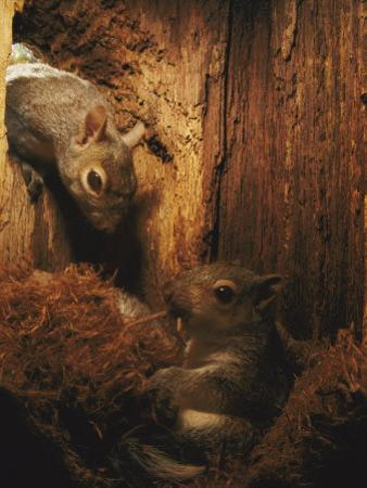 A Baby Eastern Gray Squirrel in its Nest by Chris Johns