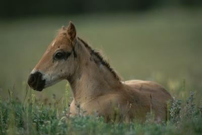 A Close View of a Wild Colt Lying in a Field. by Chris Johns