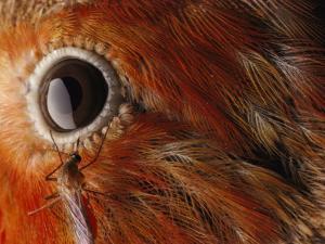 A Culex Mosquito Near the Eye of an Iiwi Bird by Chris Johns