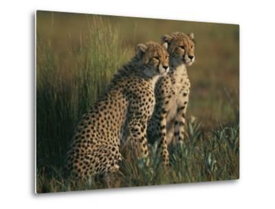 A Portrait of a Pair of Young African Cheetahs by Chris Johns