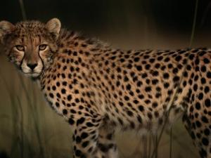 A Portrait of an African Cheetah in the Grass by Chris Johns