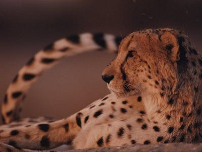 A Portrait of an African Cheetah Resting by Chris Johns