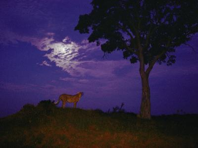 A Young Cheetah Prowls by Moonlight in the Okavango Delta by Chris Johns