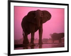 African Elephants by Chris Johns