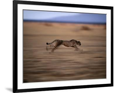 An African cheetah chases prey on the Okavango Delta by Chris Johns