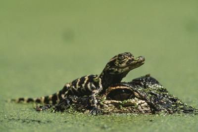Baby Alligator On Mother's Head Among Duckweed by Chris Johns