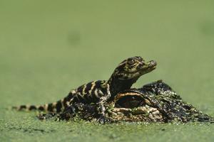 Baby Alligator On Mother's Head Among Duckweed by Chris Johns