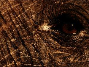 Eye of an African Elephant by Chris Johns