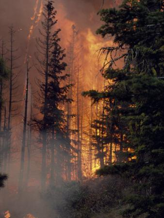 Forest Fire Blazing Through an Evergreen Forest by Chris Johns