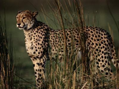 Portrait of an African Cheetah Standing Among Tall Grass by Chris Johns