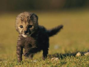 View of a Rare King Cheetah by Chris Johns