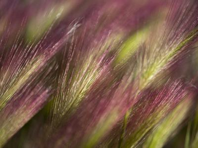 Foxtail Barley (Hordeum Jubatum), Sakha Republic, Siberia, Russia, Arctic